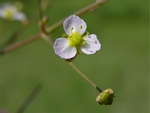 Narrow-leaved Water-plantain (Alisma lanceolatum)